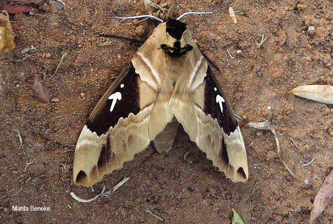 Sưu tập Bộ cánh vẩy 2 - Page 7 MOT-Lophostethus-dumolinii-Arrow-Sphinx-Moth-SPHINGIDAE-Modimolle-Oct2015-Beneke